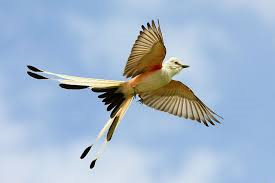 Synchronicity of the Scissortail